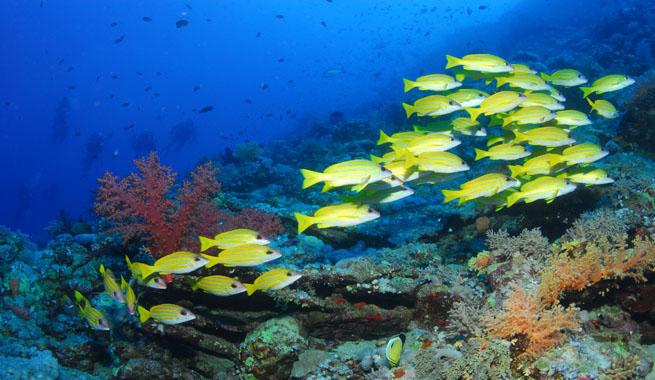 Bucear en el mar rojo for Especies de peces
