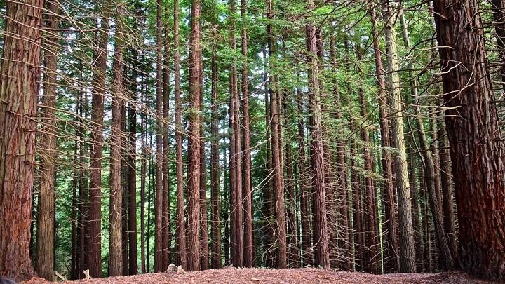 Monumento Natural de las Sequoias del Monte Cabezon Cantabria1