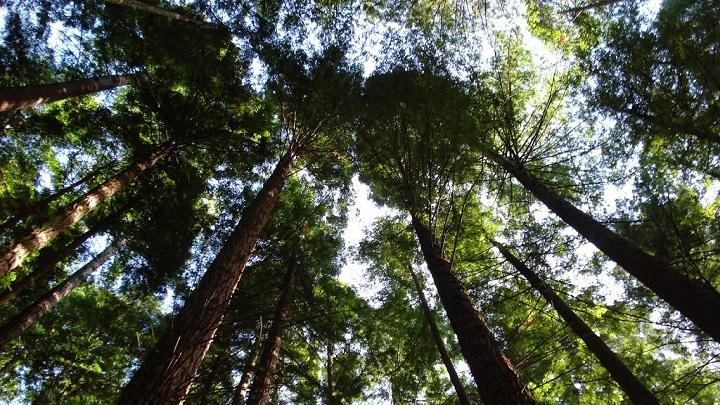 Monumento Natural de las Sequoias del Monte Cabezon Cantabria2