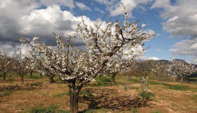 La floraci n de los cerezos en el valle de las caderechas de burgos - Pueblos de espana que ofrecen casa y trabajo 2017 ...