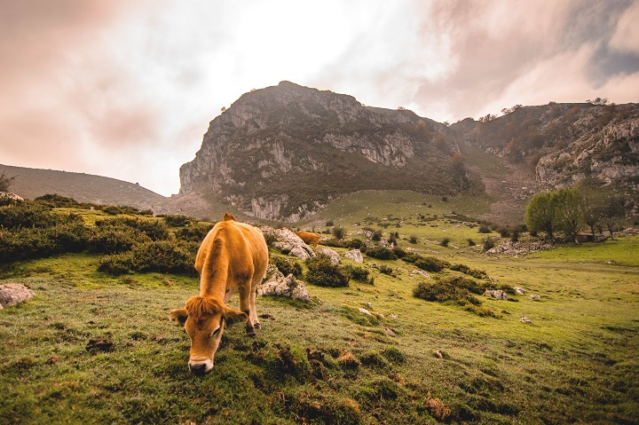 Asturias-vacas